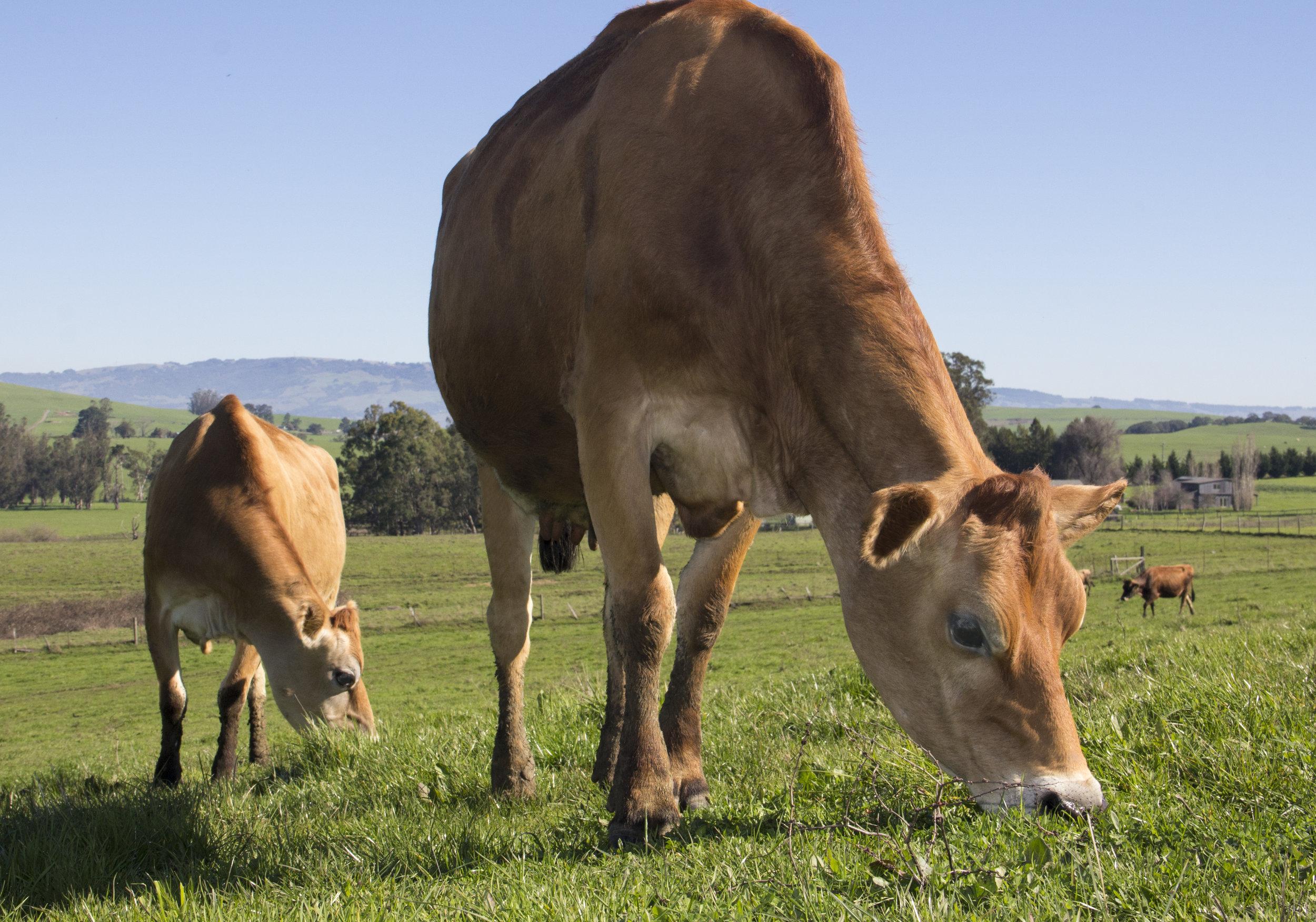Grazing Cows_v2.jpg