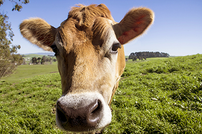 FarmingPageFrontfacingCow.jpg