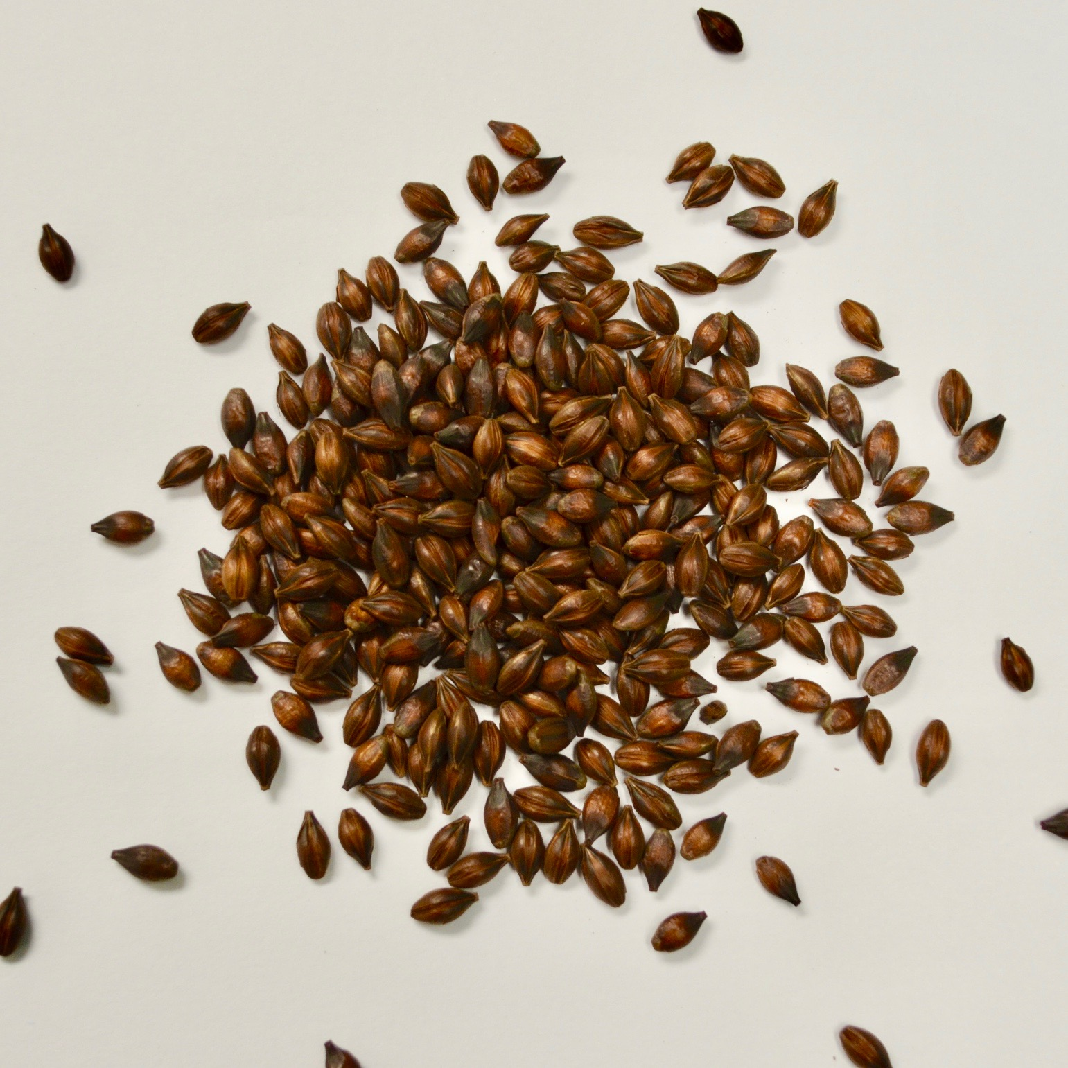Bridger Roasted Barley -