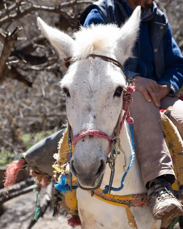 Met this guy along our hike in the Imlil Valley of Morocco and couldn't resist. . . #imlilvalley #imlil #morocco #morocco🇲🇦 #mule #hiking👣