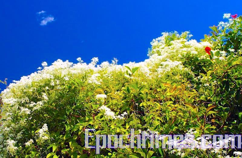 藍山上不知名的花