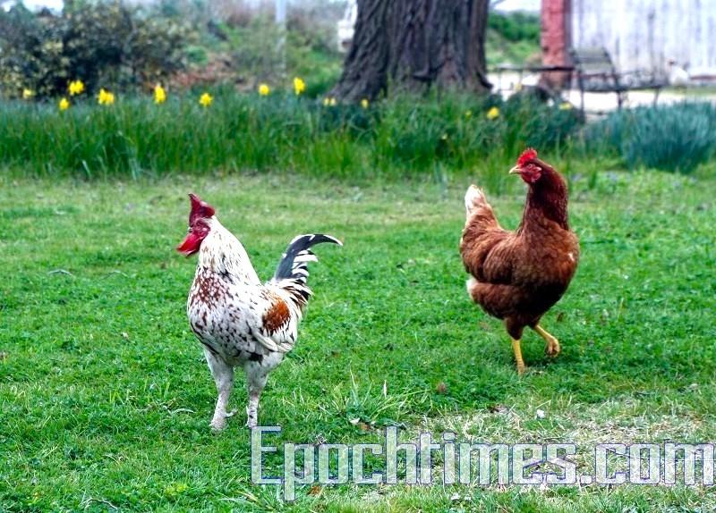 啤酒廠餵來下蛋的雞。多少年沒見過這樣「自然生態」下老母雞和這樣威風的雄雞公(四川叫法)了!