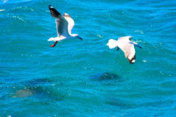 魚鳥同樂,看來互不相干。不知水裡的魚若小過海鷗的話,它們還能不能同樂了?