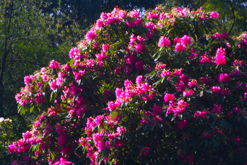 記得以前在北京,每年的春天第一次見到任何春花綻放時,都不免有「驚為天人」之感;而在澳洲,花兒似乎一年四季都在開放,慢慢地就有些「身在福中不知福」起來。
