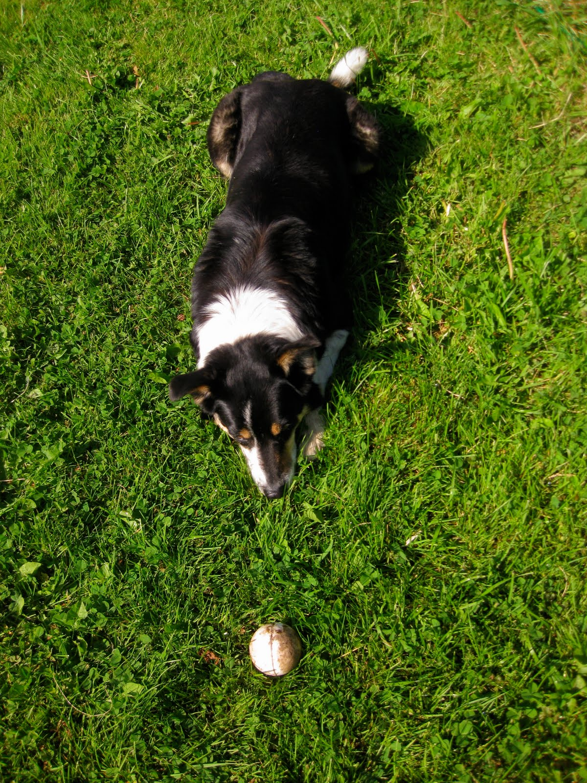 This is Angus, one of the two dogs here. He LOVES to play fetch, and I've seen this sight very often already.