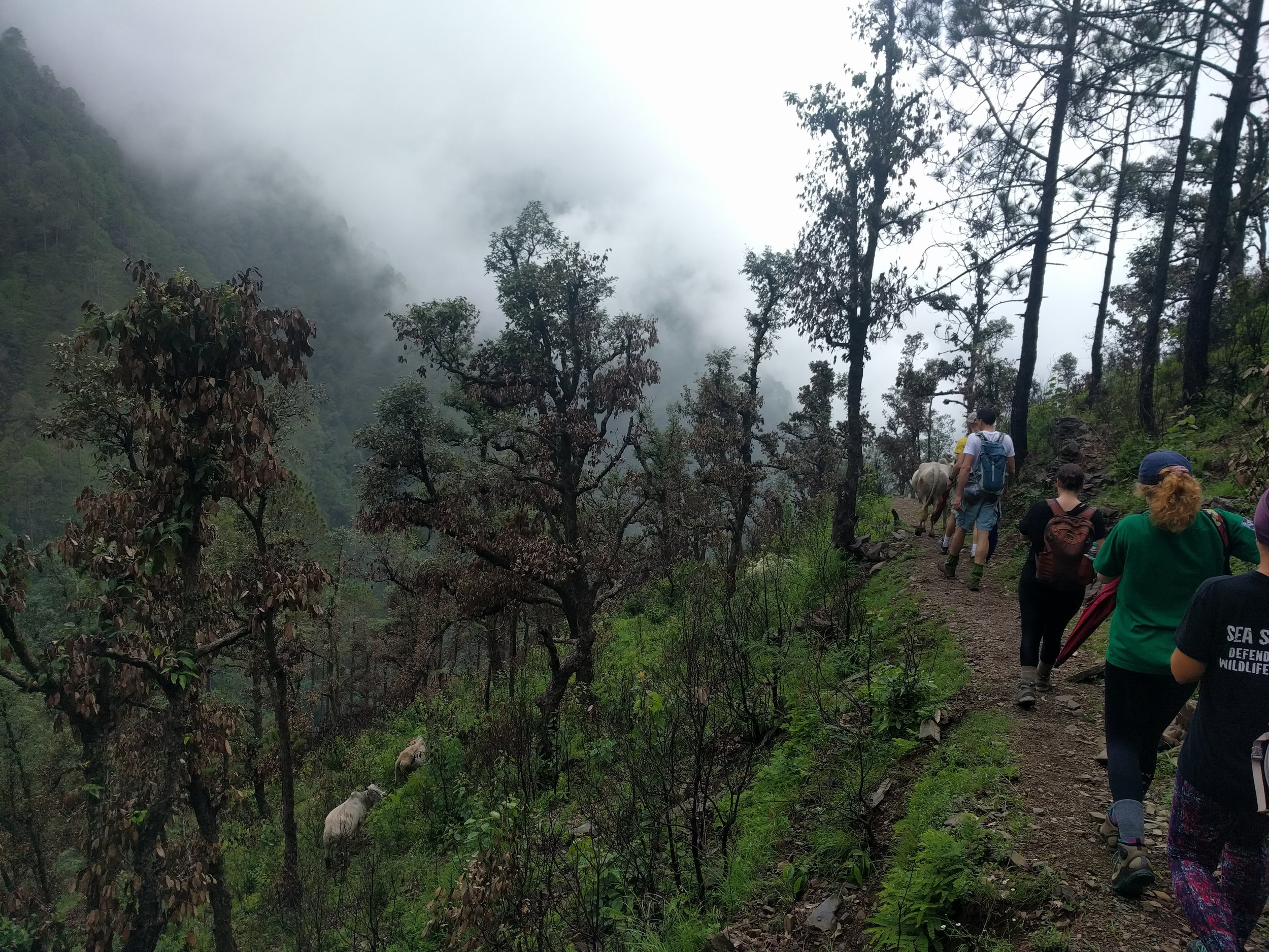 The foggy hike to Kolti Village, with the company of cows