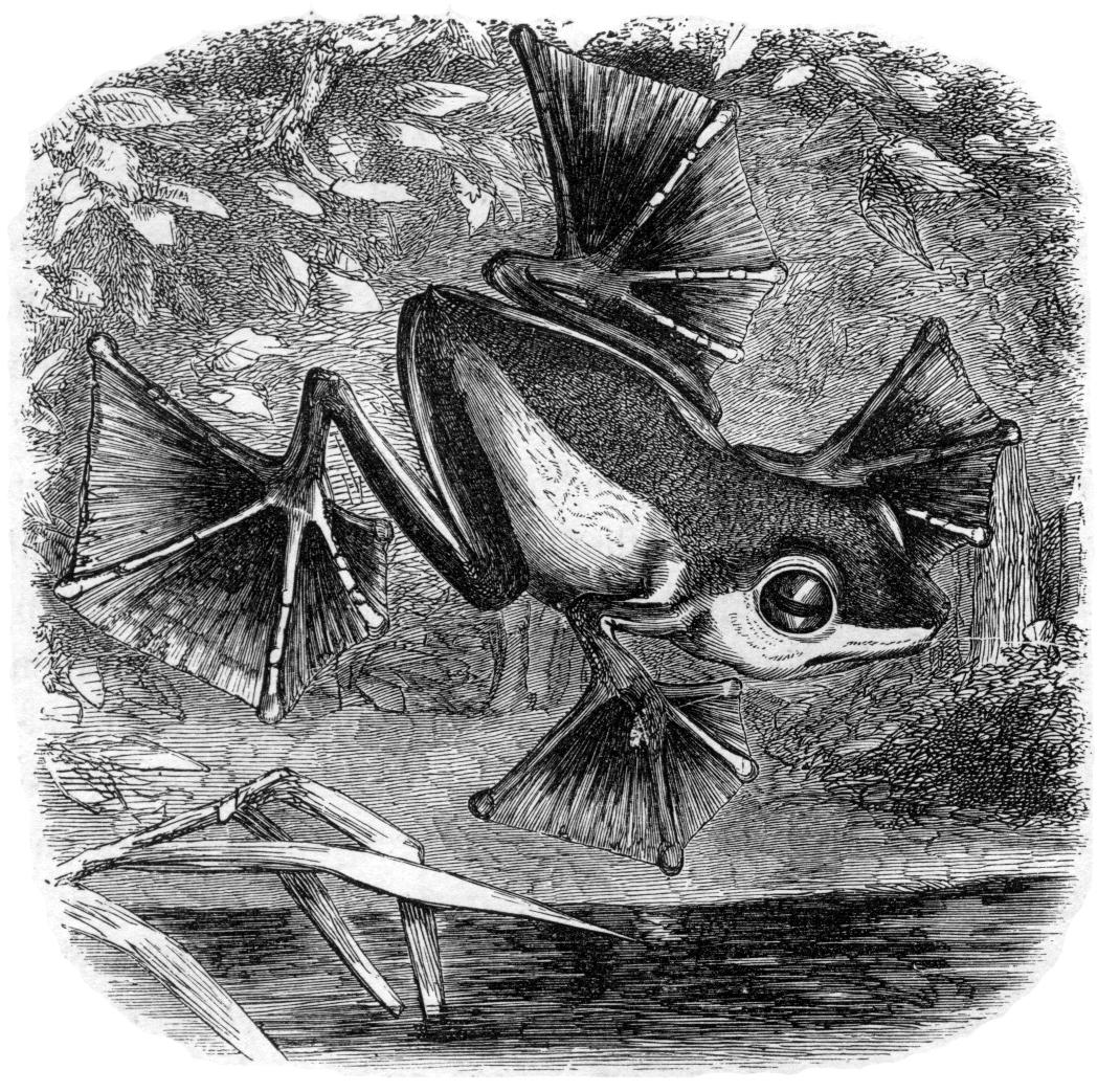 La famosa rana voladora de Wallace, descrita e ilustrada en su libro  The Malay Archipelago