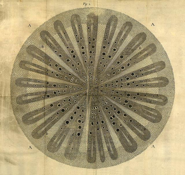 Ilustración del libro  The Anatomy of Plants,  de Nehemiah Grew, 1680