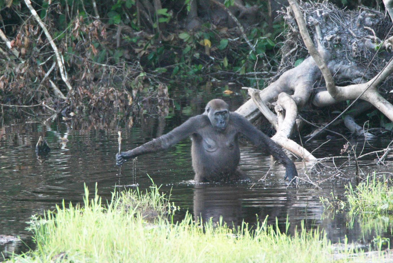 Wild Gorillas Handy with a Stick,  PLoS Biol 3(11): e385, 2005  (Fuente)