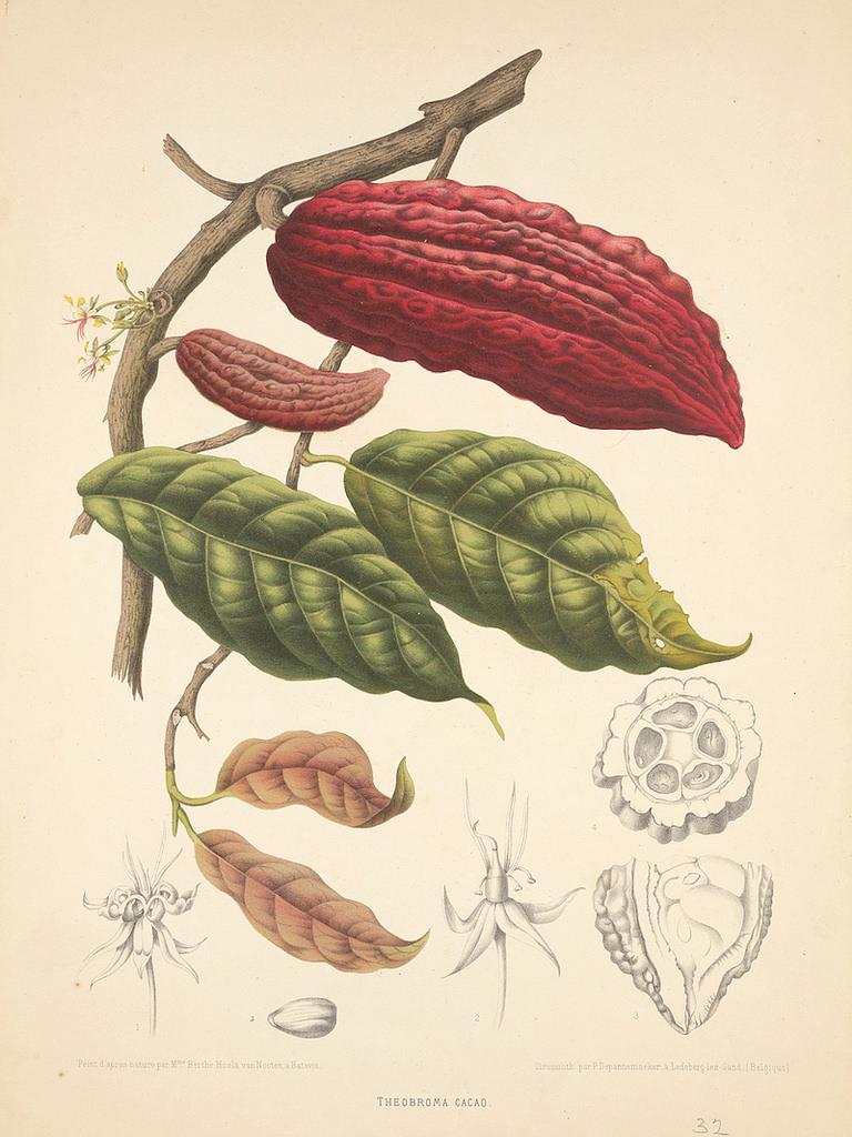 Cromolitografía de una rama del árbol de cacao dando frutos, por P. Depannemaeker, c. 1885, basada en una imagen de la artista botánica Berthe Hoola van Nooten