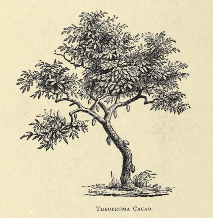 Imagen de un árbol de cacao ilustrado en  The Chocolate-Plant (Theobroma cacao) and its Products  (1891) de Walter Baker and Company, el más antiguo productor de chocolate en los Estados Unidos.