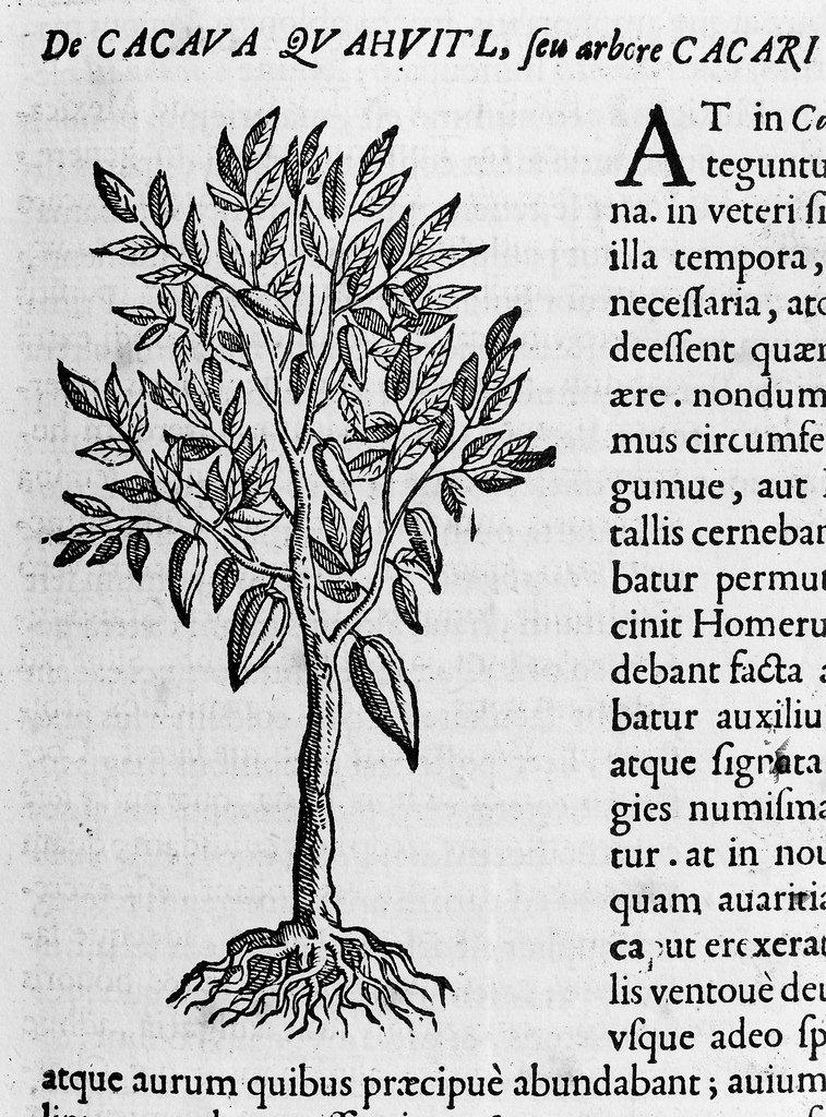 Imagen de un árbol de cacao en el  Rerum medicarum novae hispaniae thesaurus  (ca. 1651)