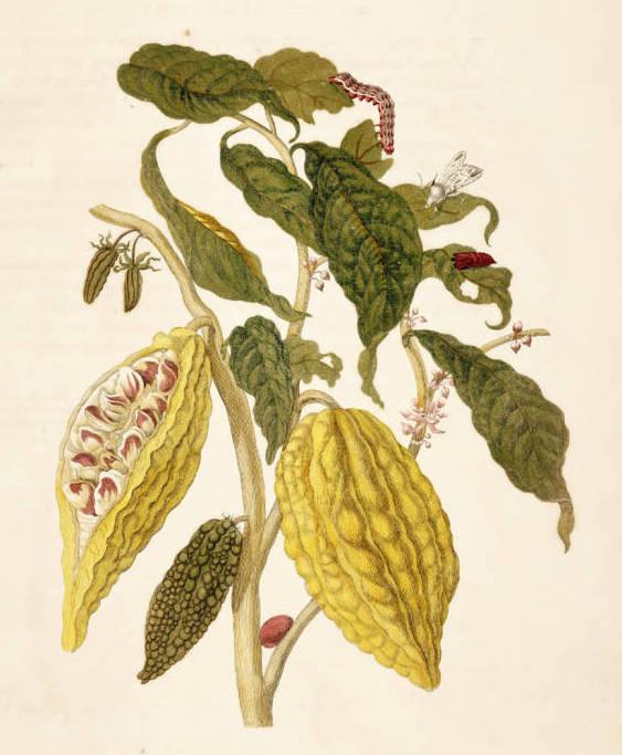 Imagen del árbol de cacao en  Metamorphosis Insectorum Surinamensium, de Maria Sibylla Merian, 1705