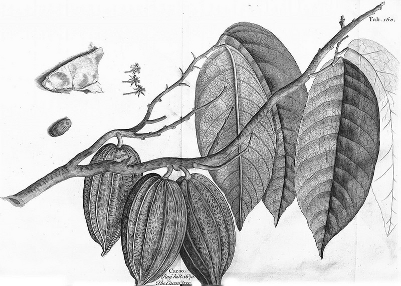 Imagen del árbol de cacao en  A voyage to the islands Madera, Barbados, Nieves, S. Christophers and Jamaic a (Vol. 2, 1725, placa 160), de Sir Hans Sloane