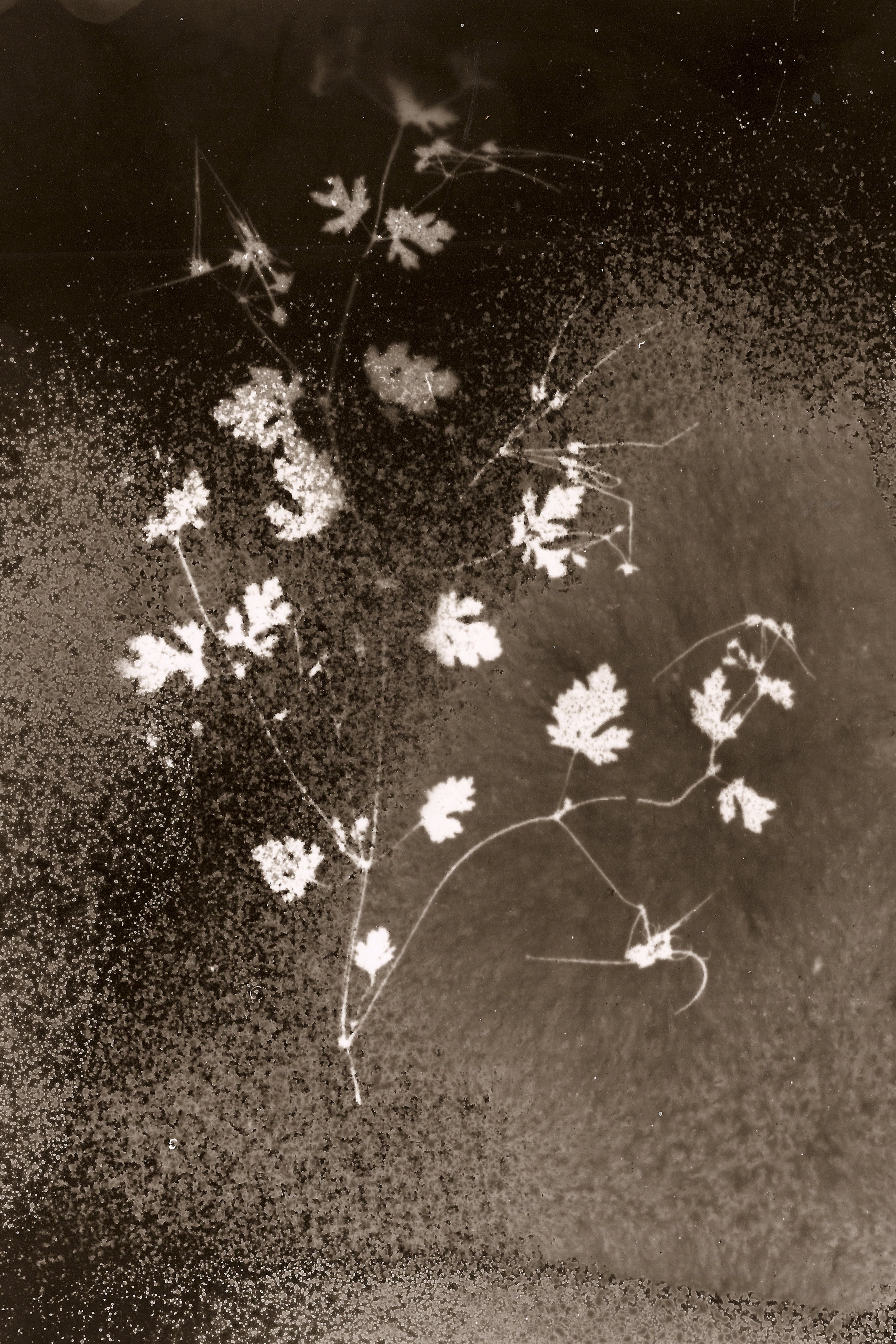 Geranium chinum,  fotograma en papel de algodón, 2011-2016 Zona de exclusión de Chernóbil, Ucrania Nivel de radiación: 1.7 microsieverts/h (por Anaïs Tondeur)