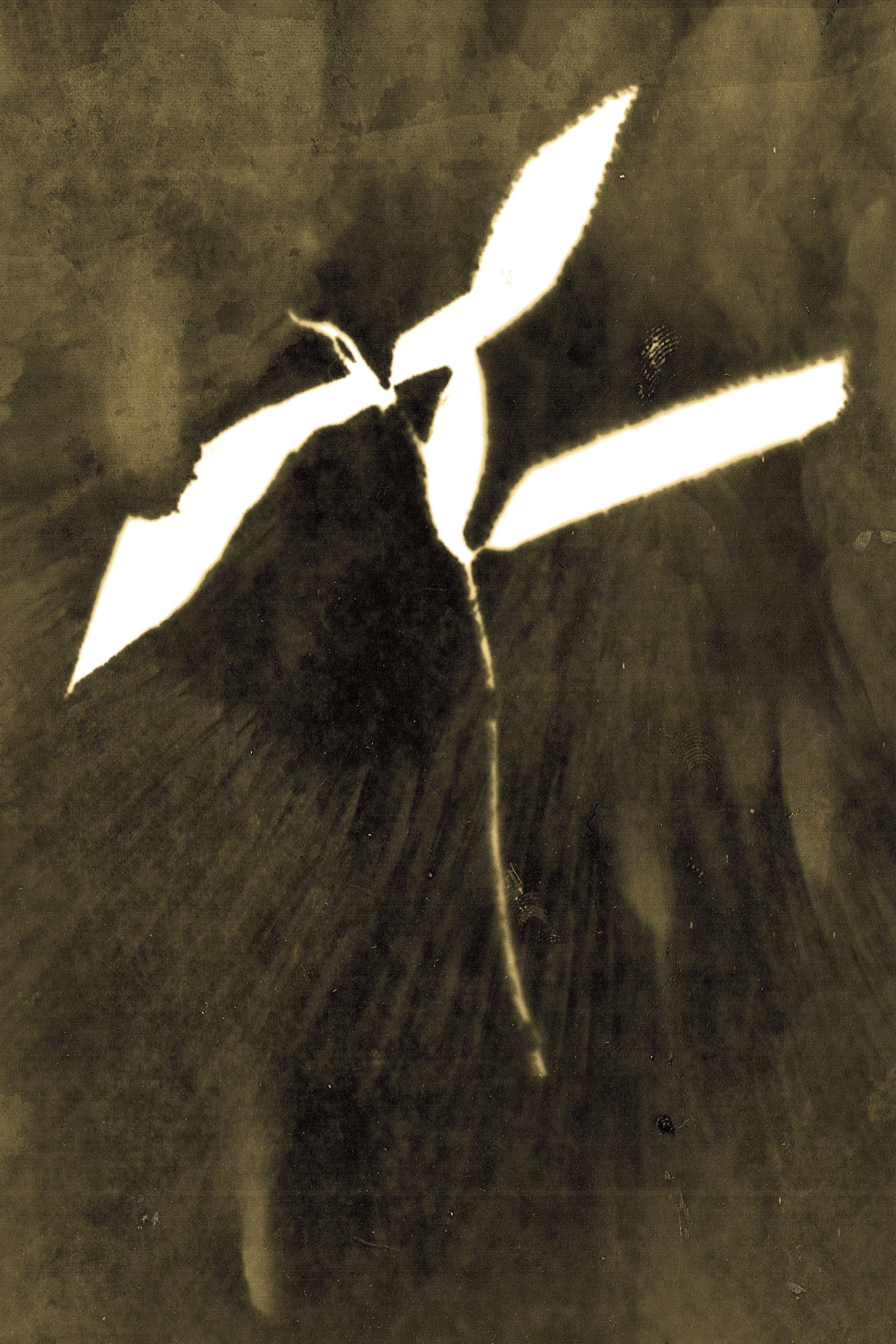 Malpighia spicata , fotograma en papel de algodón, 2011-2016 Zona de exclusión de Chernóbil, Ucrania Nivel de radiación: 1.7 microsieverts/h (por Anaïs Tondeur)