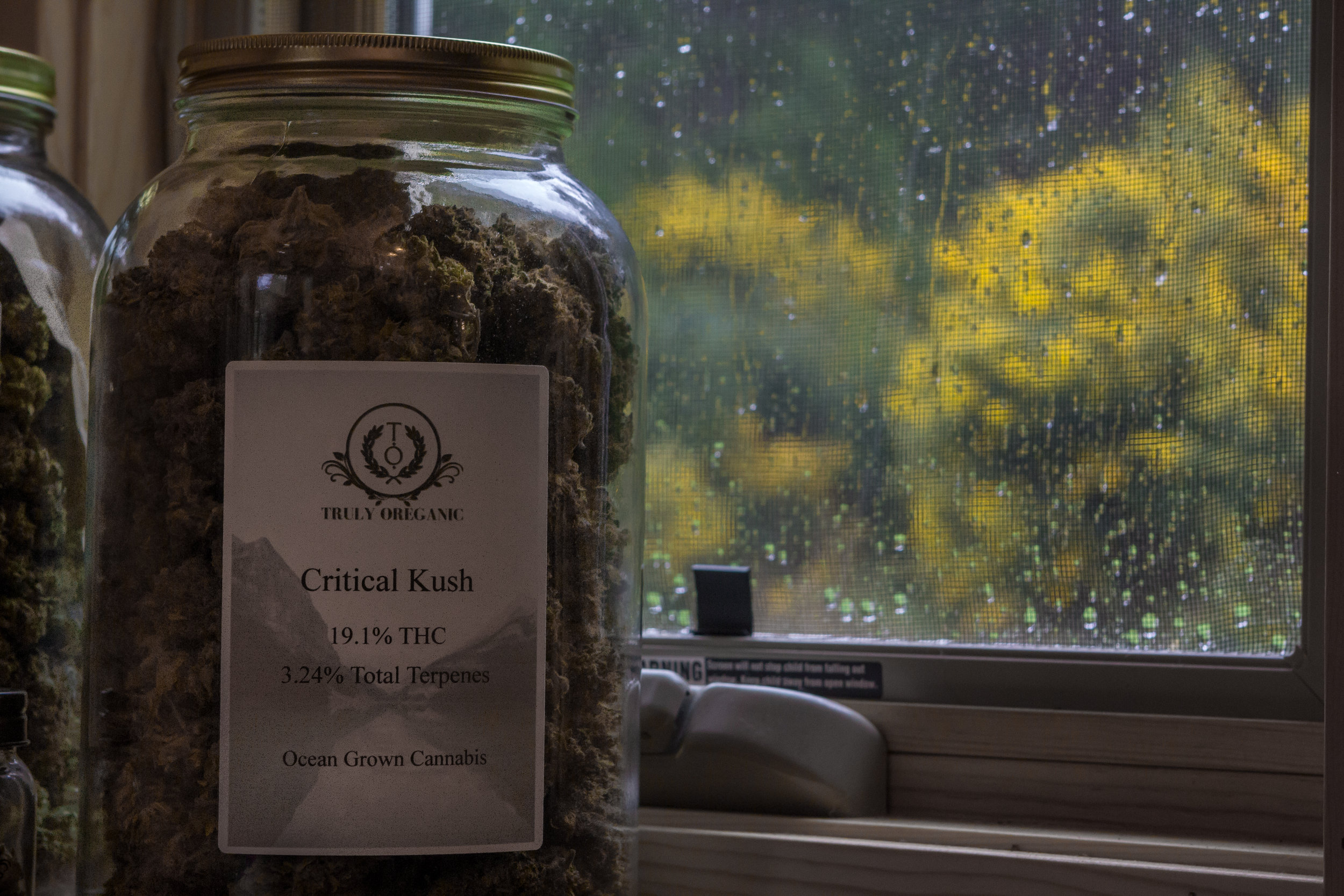 Critical Kush in Jar by Window.jpg