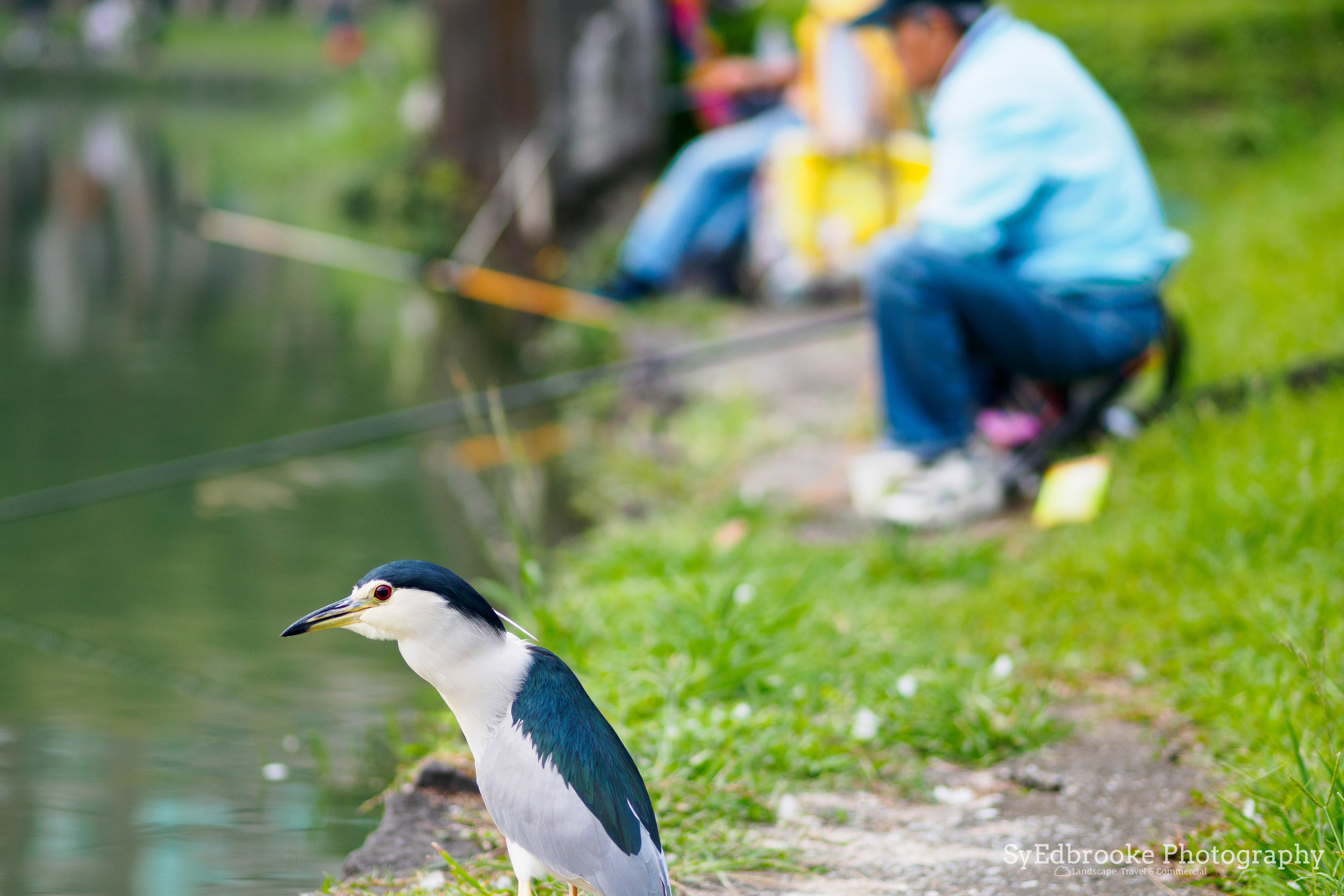 A grumpy fisher bird. f1.8, ISO 200, 1/160, 150mm