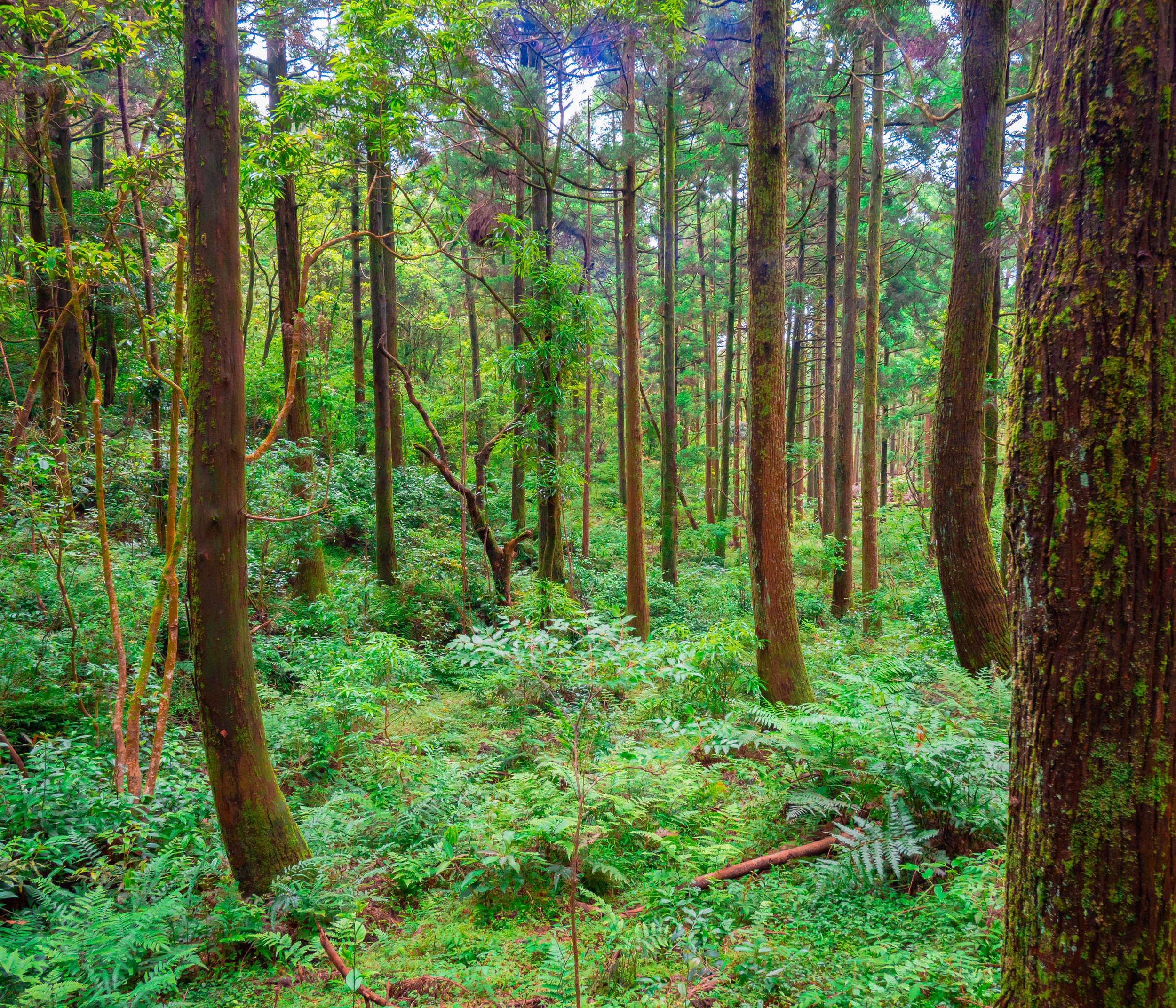 Japanese pine forest. f 7.1, ISO 1600, 1/50, 28mm