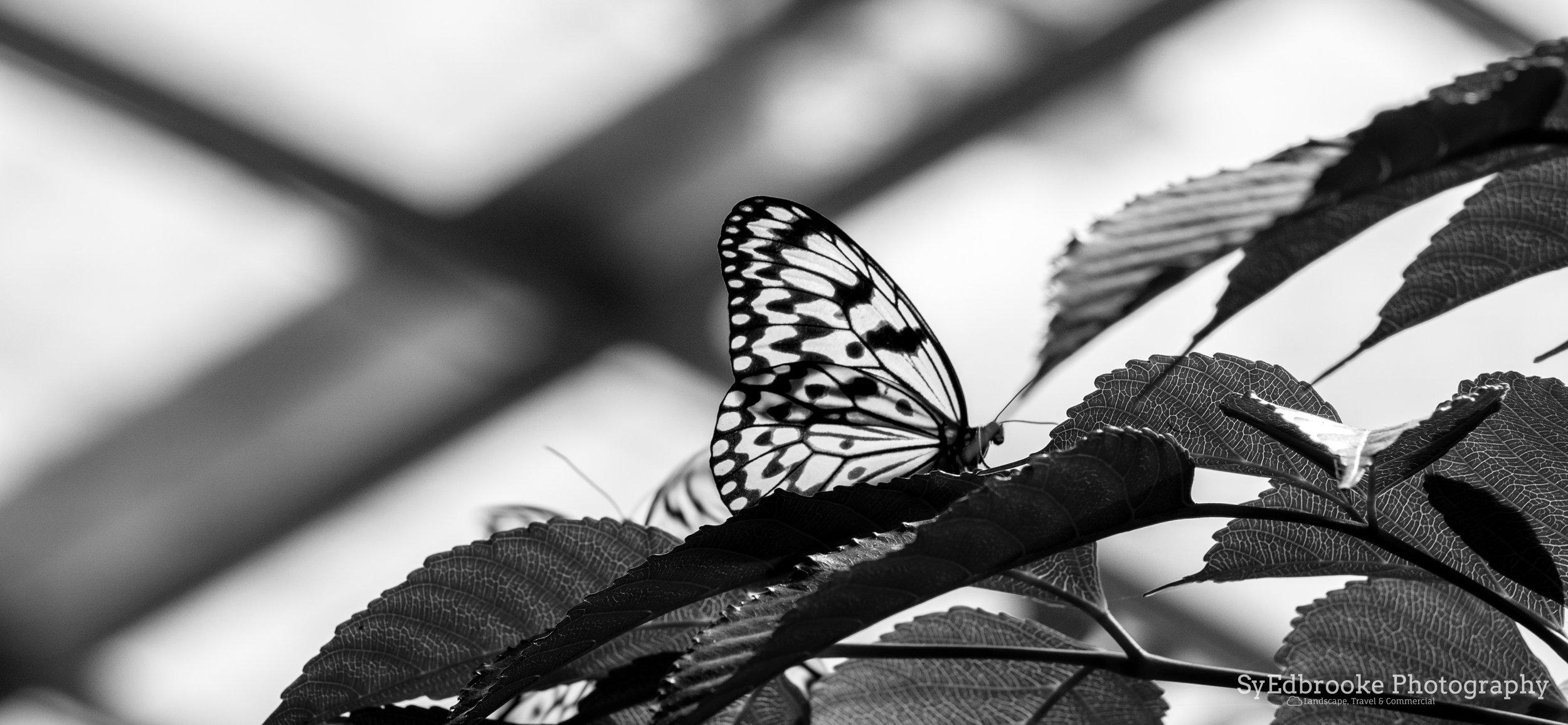 BnW butterflies. f7.1, ISO 200, 1/250, 240mm