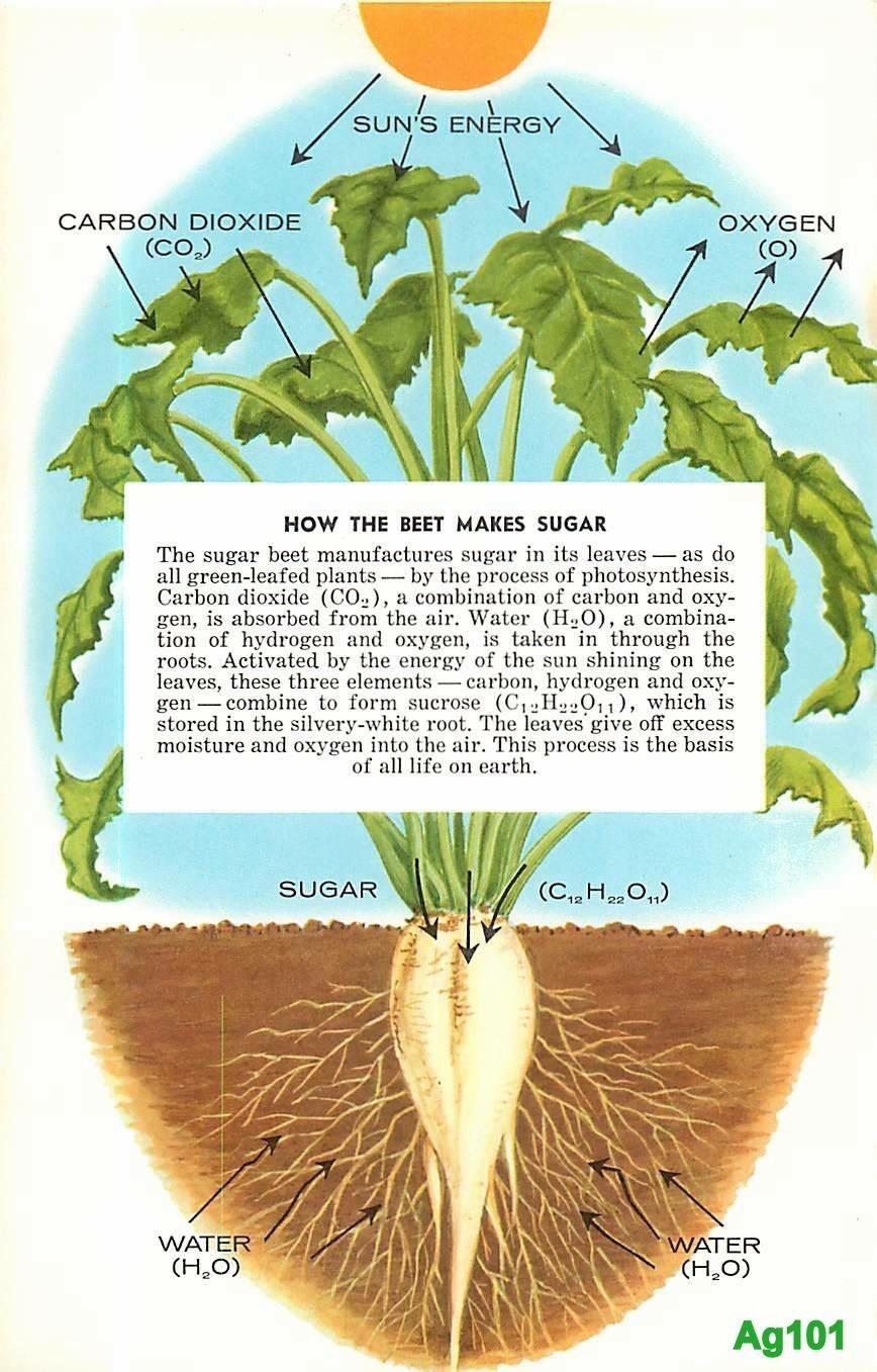 How the beet makes sugar.jpg