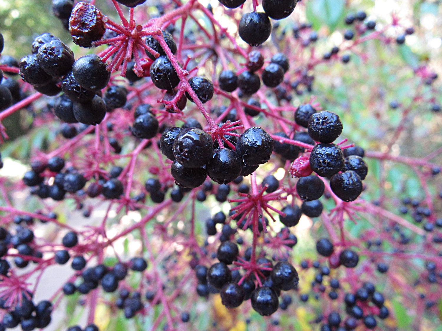 These ripe  Aralia spinosa  fruits are looking awfully similar to American elderberries.