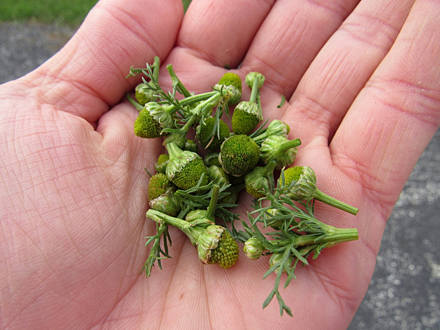 Some pineapple weed buds. These were harvested just a few days ago (in November), so they're a little past their prime.