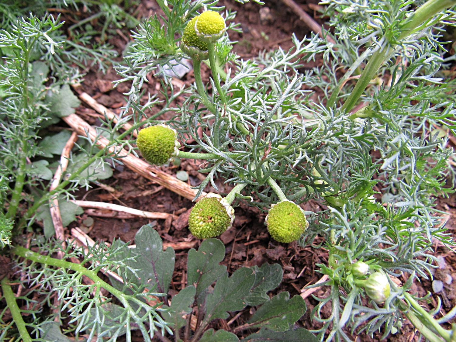 The feathery leaves of pineapple weed resemble the more well-known German and Roman chamomiles.