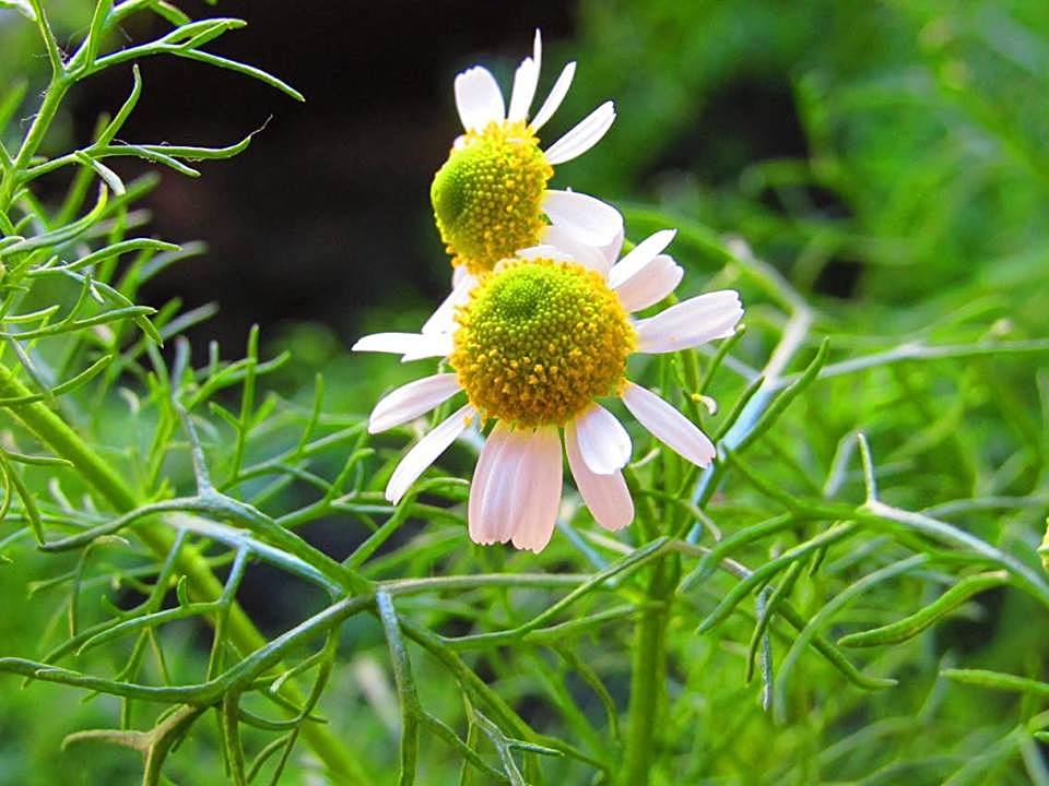 German chamomile - note the similar leaves and flowers (minus the petals).