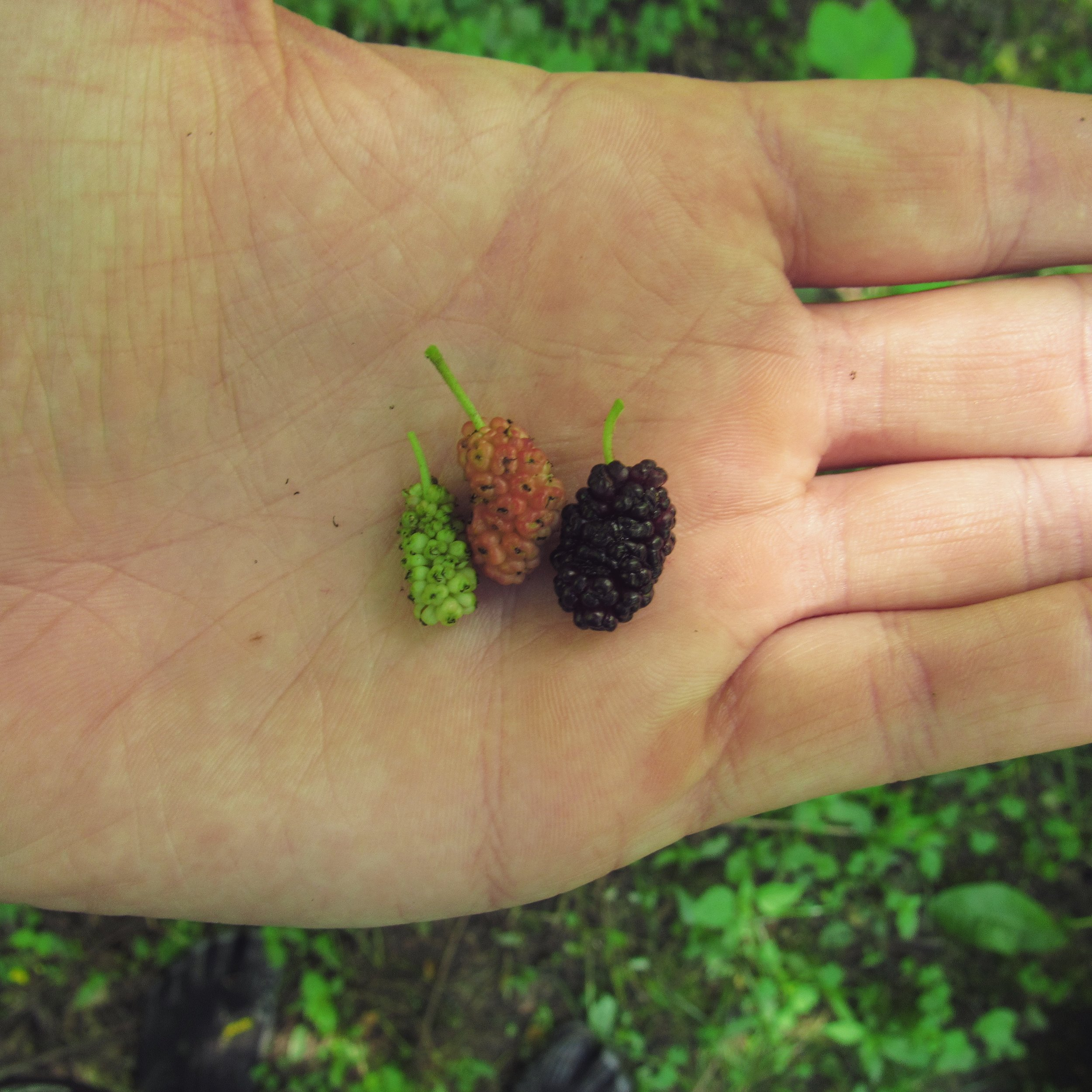 Here you can see three distinct phases of red mulberry ripeness.