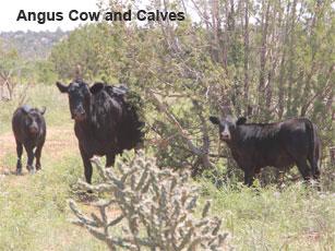 angus cow_0.jpg