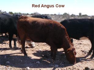 red angus cow_0.jpg