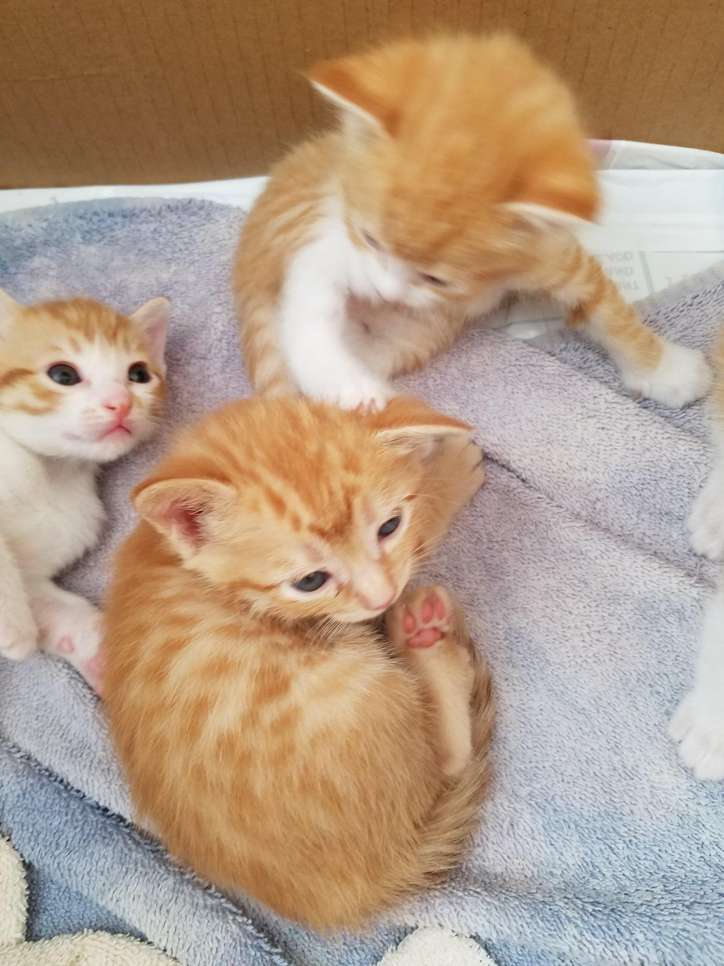 Josie's Kittens  Five sweet bundles of furry kitten goodness. Age: 4 Weeks