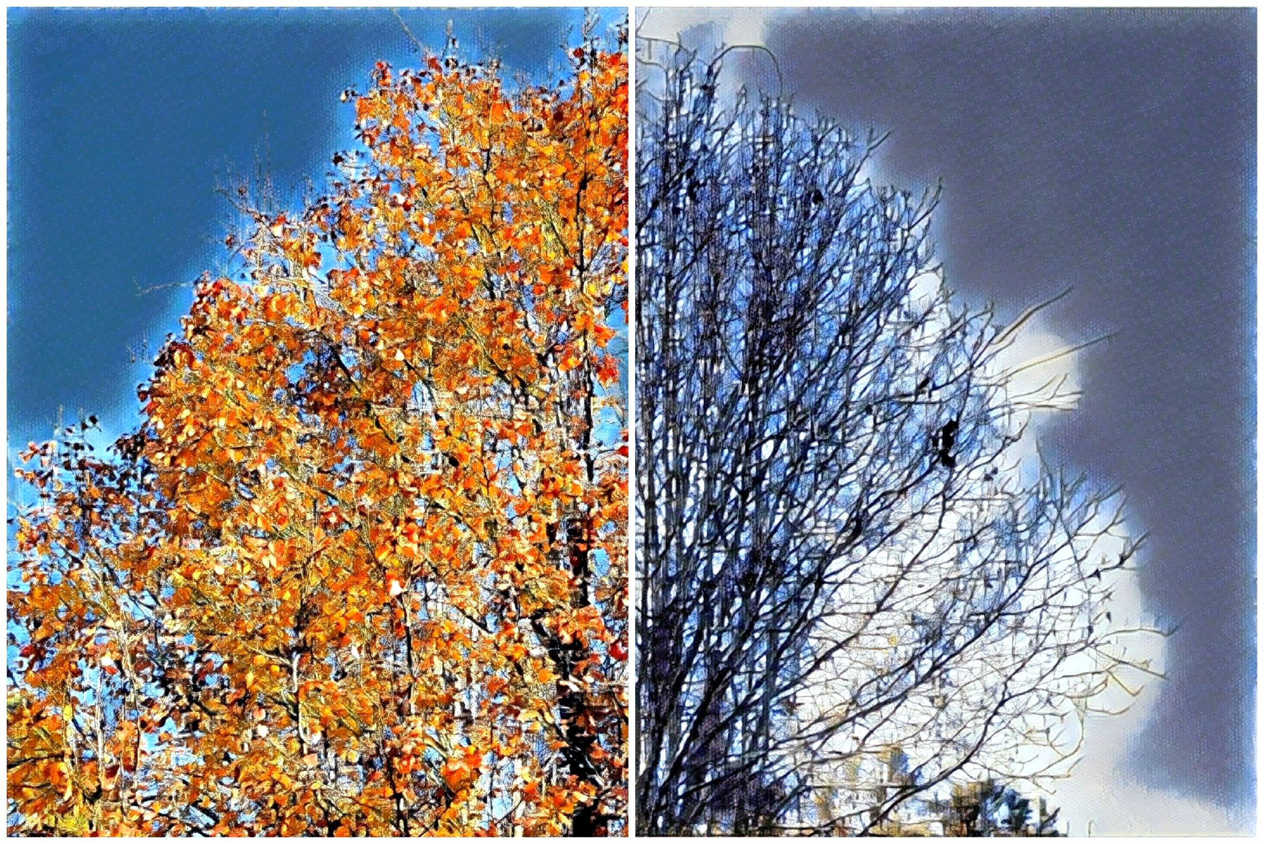autumn-winter bradford pear.jpg