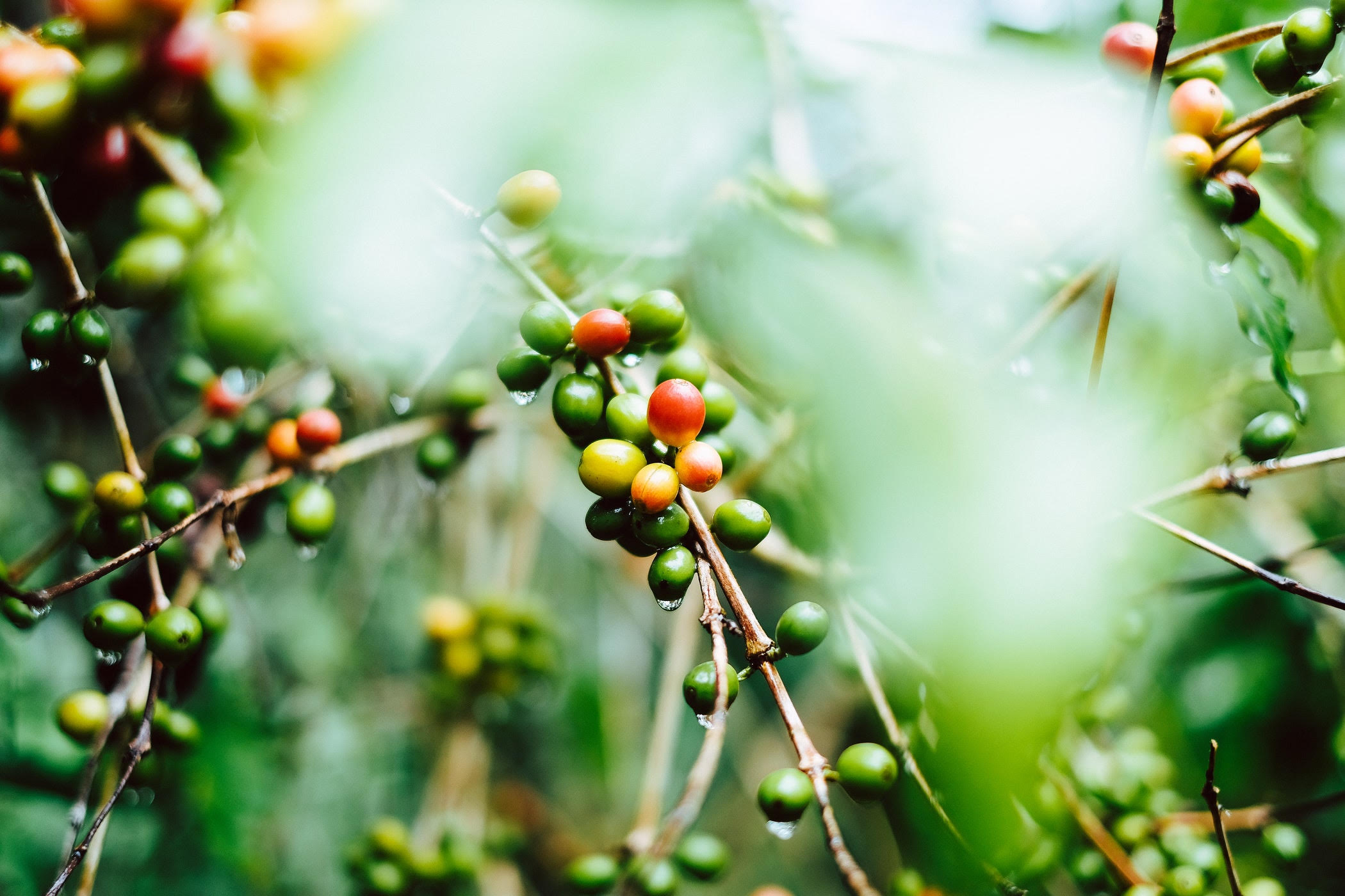 Coffee cherries in Guatemala