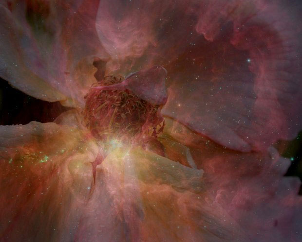 Abercromby Rose Galaxy