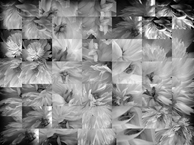 Monochrome Peonies