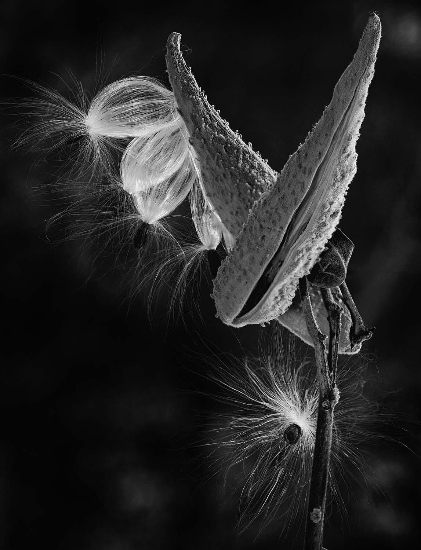 Asclepias syriaca (common milkweed)
