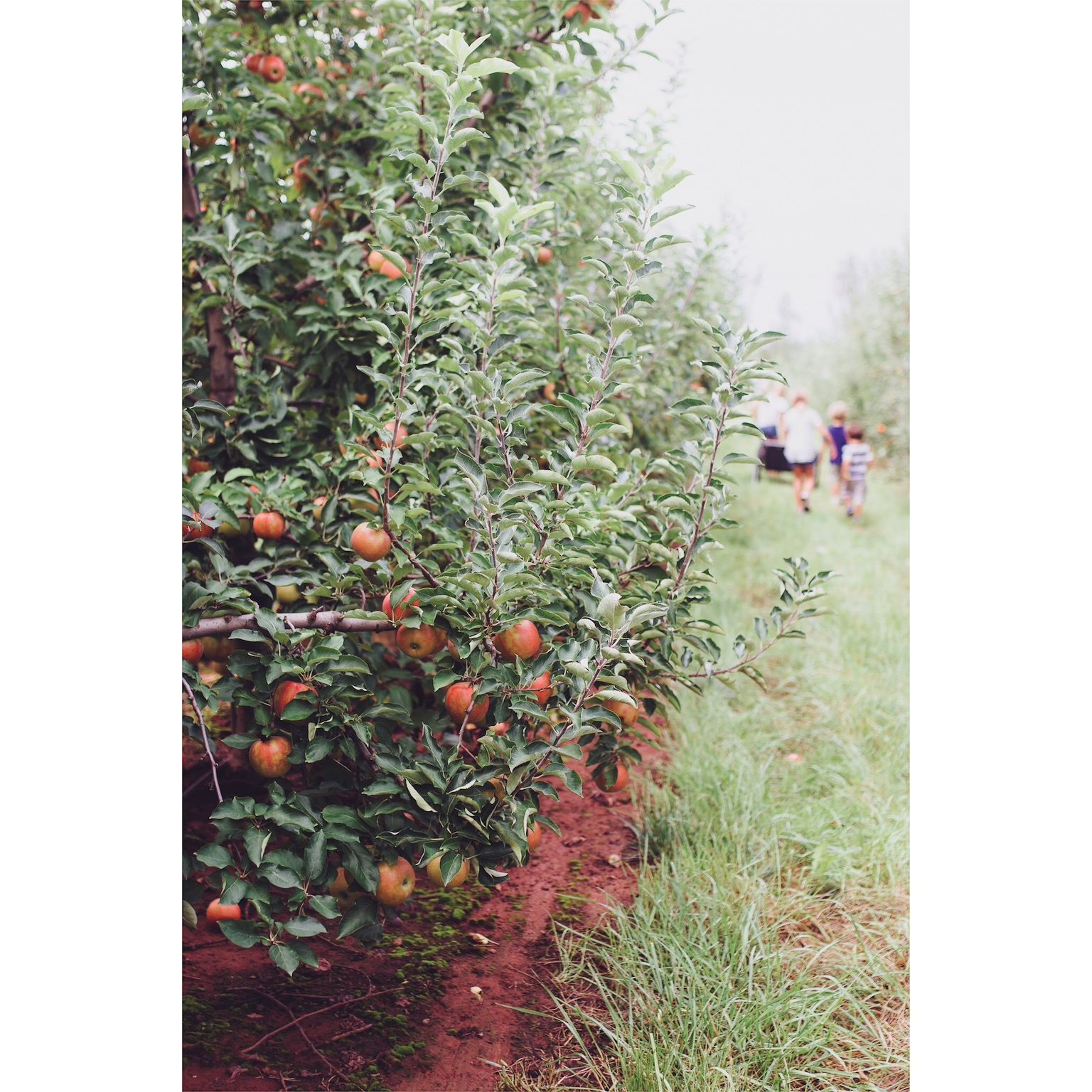 apple picking farm day