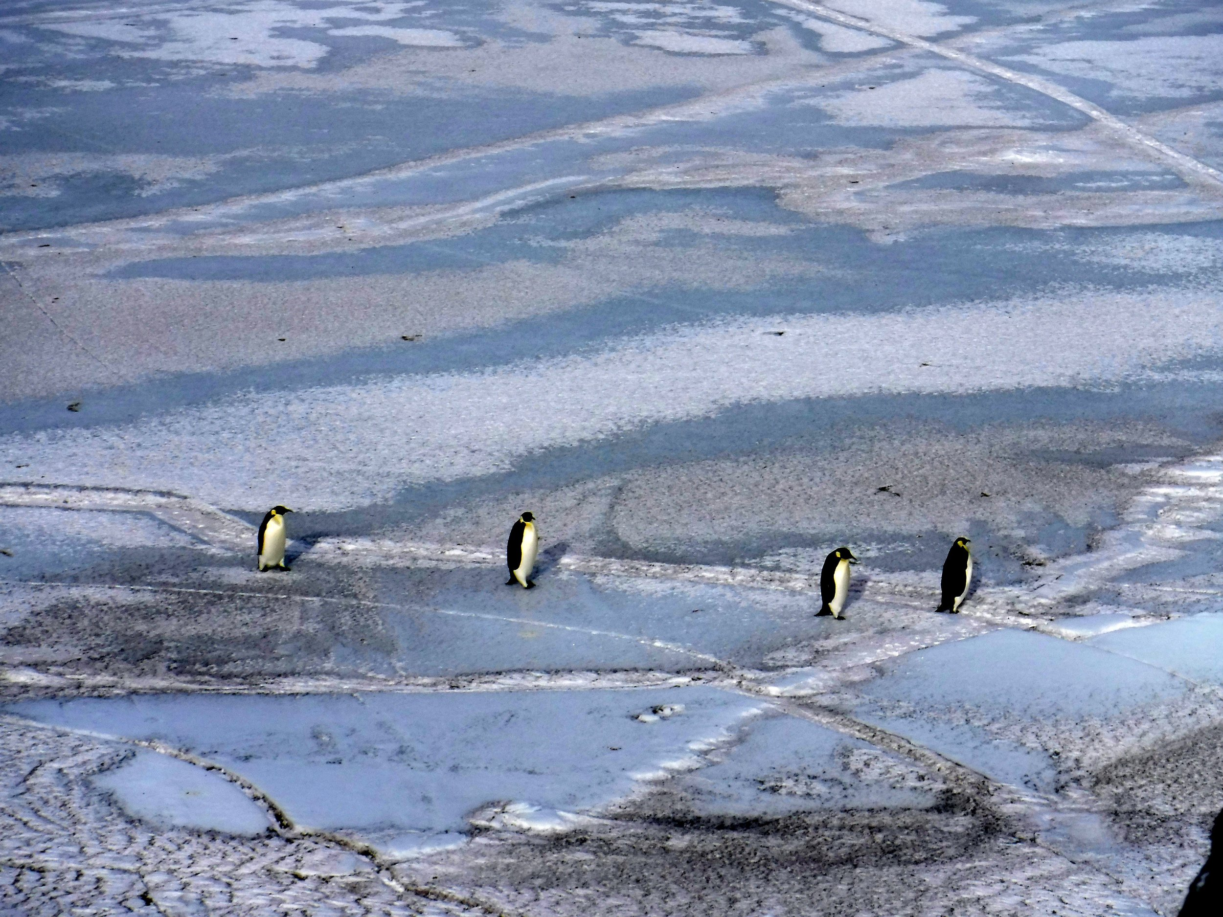 Emperor penguins on the sea ice. Photo credit: Caitlin Scarano.