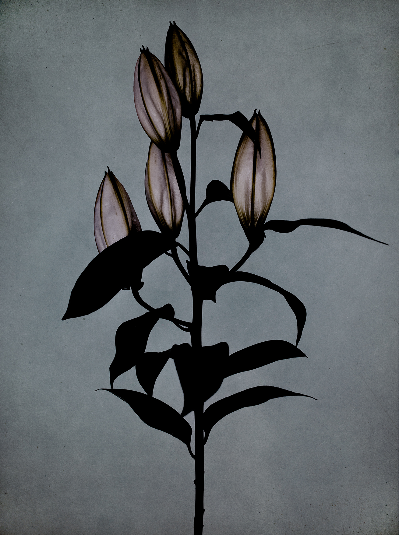 Lilies for a condolence
