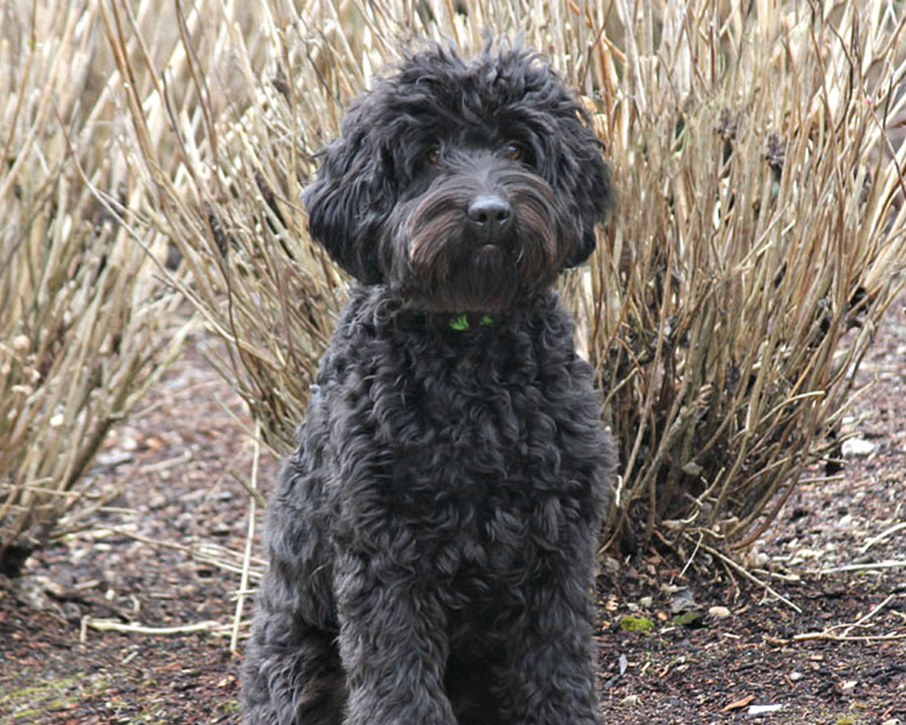 Australian Labradoodle Breeding Dog