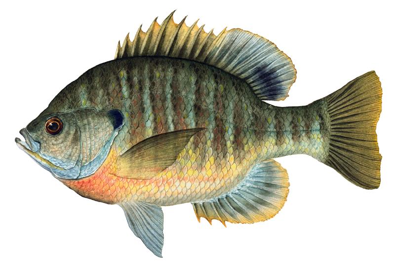Bluegill Sunfish, 19x22
