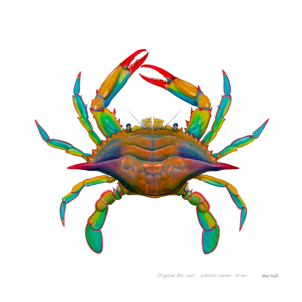 Maryland Blue Crab, 36x36