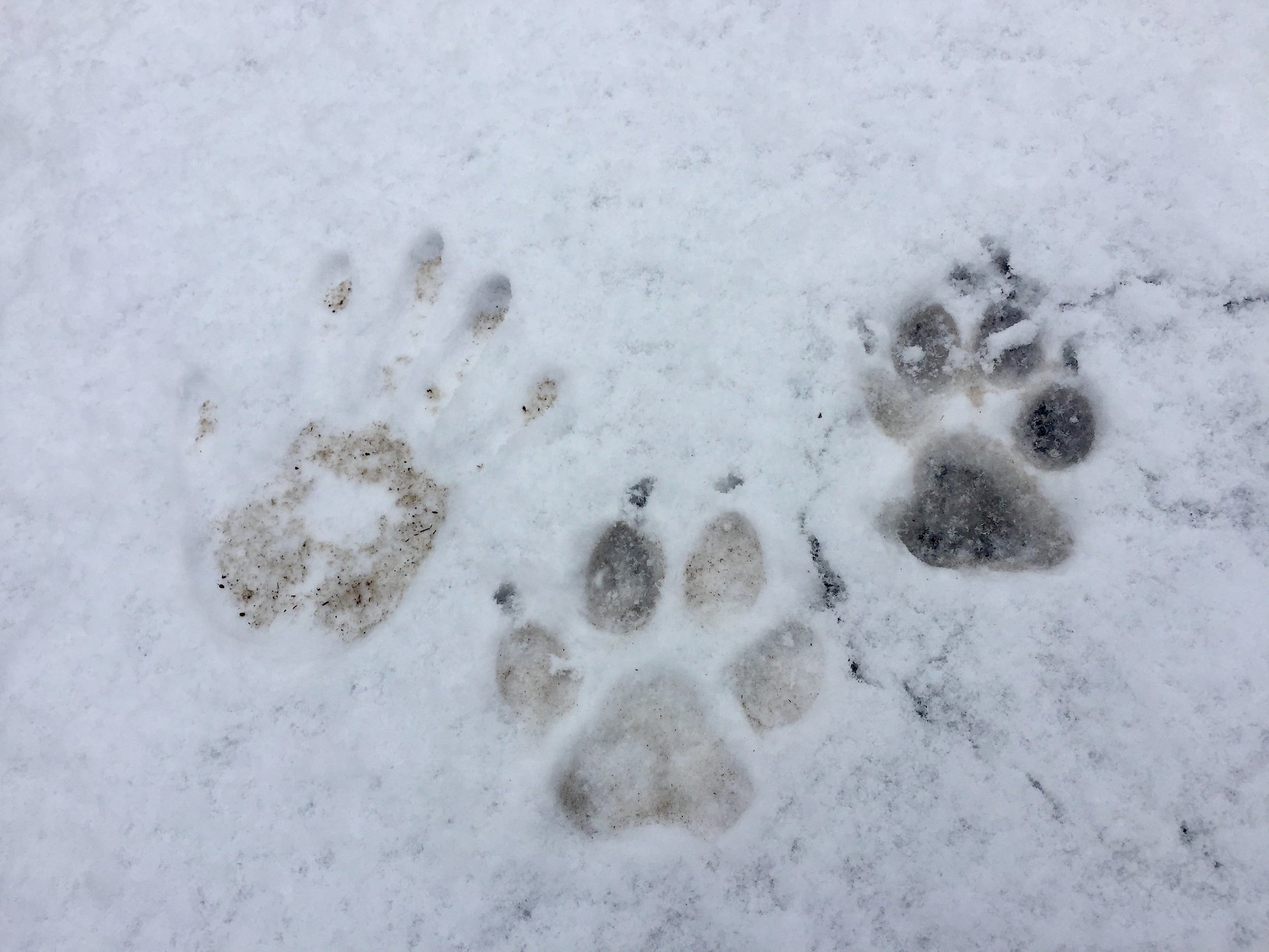 Look at the size of these wolf tracks compared to a handprint of one of my friends on a walk next to the townsite recently. We're so fortunate to live alongside wolves.