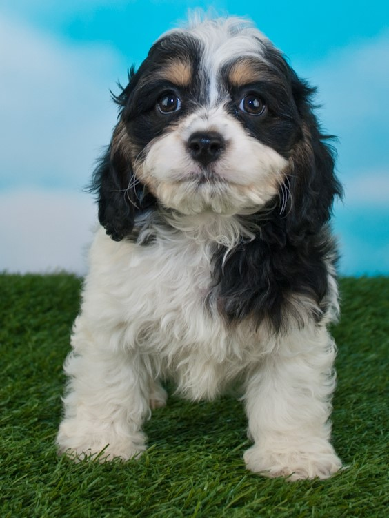 This Cockapoo pup of ours has tri-color markings (notice especially the eyebrows), but is not a true phantom, because the markings do not continue to her chest or legs.