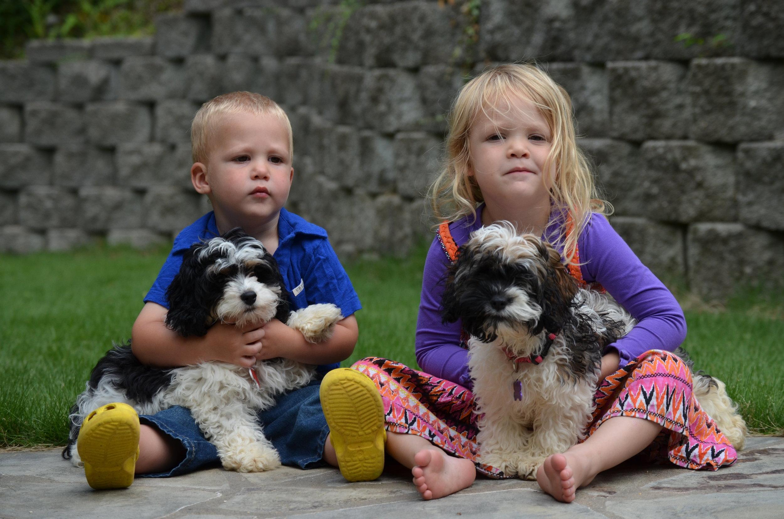 Cockapoo-puppies