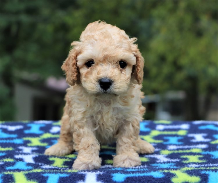 mini-cockapoo-Teagan.jpg