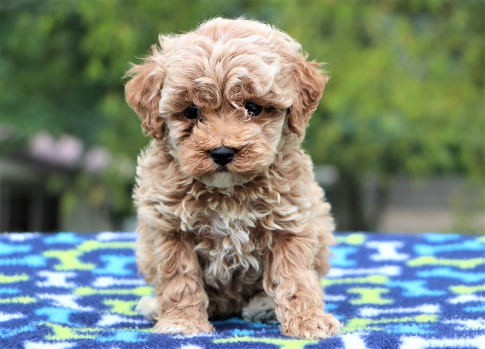 cute-cockapoo-Tyler.jpg