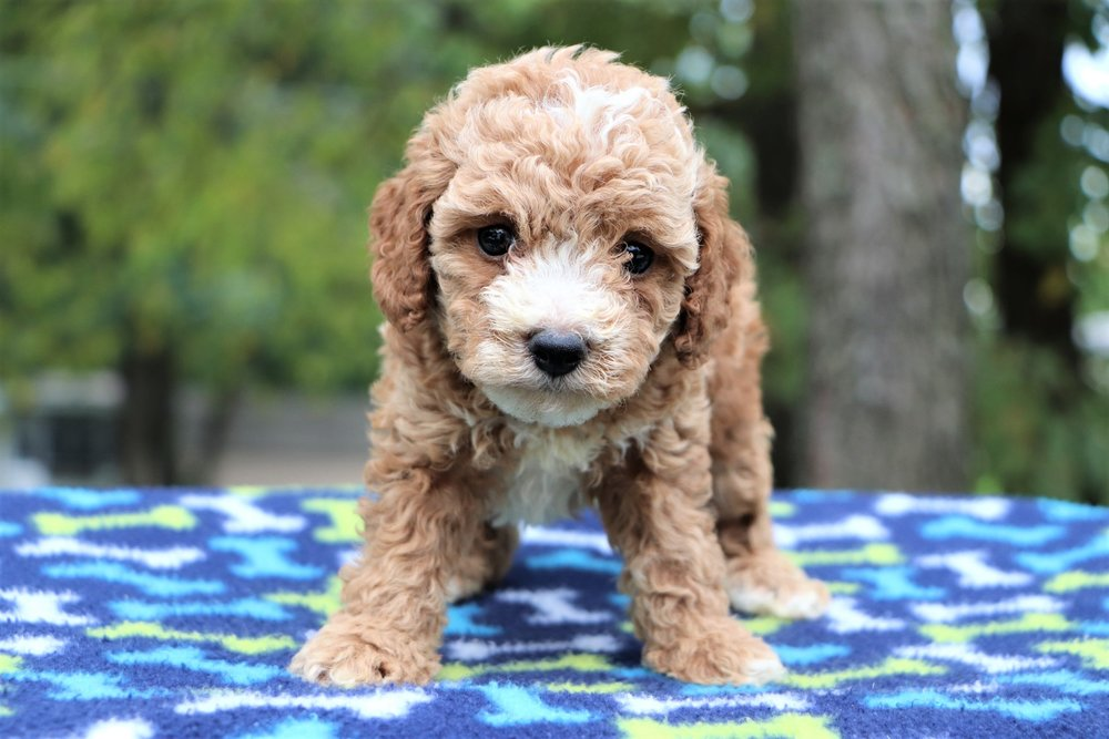 red-cockapoo-tybalt.jpg